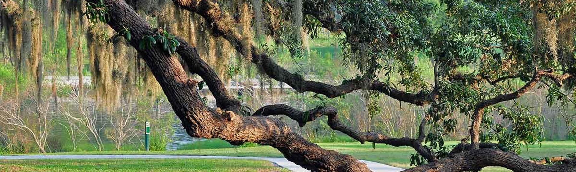 Oak tree in Rivercrest Park